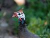 Helmeted-guinea-fowl,-Swakopmund,-Namibia