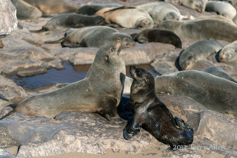 Mother-and-baby-fur-seal,-Cape-Cross,-Namibia