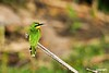 Bee-eater_D303896