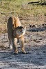 LionessStreching_D303102