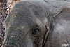 Elephant_D303602