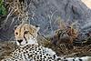 Cheetah_D303951