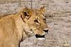 LionessPortrait_D303154
