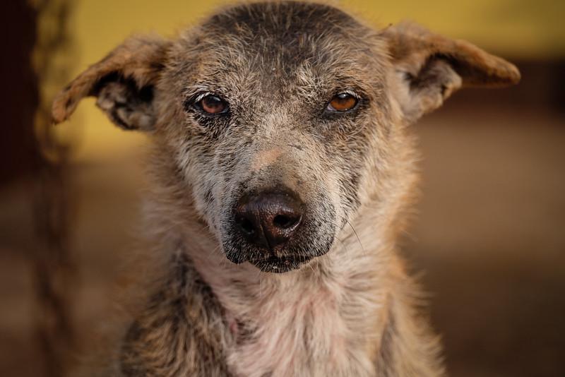 Old Yoda, the stupa dog