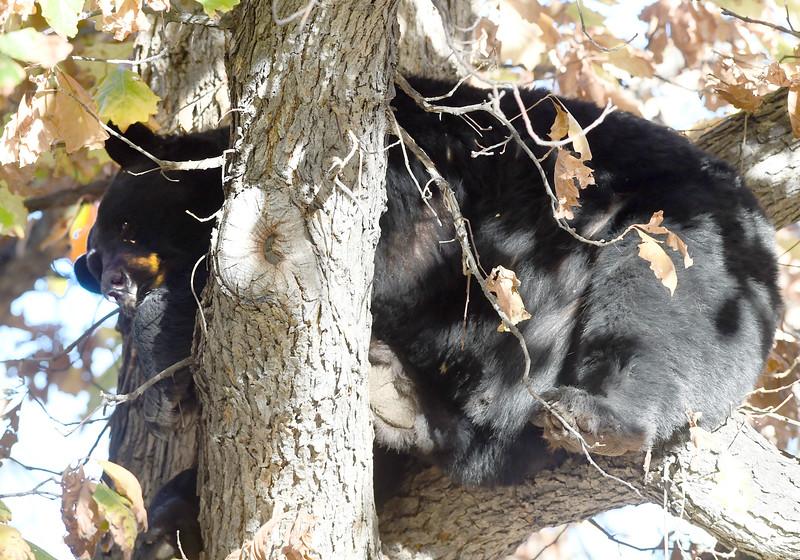 Bear in a Tree in Boulder