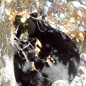 Boulder Bear Naps in Tree