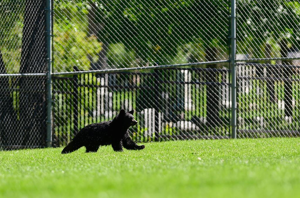 . BOULDER, CO - SEPTEMBER 14: A bear cub runs across the baseball field at Flatirons Elementary School in Boulder on Sept. 14, 2018. (Photo by Matthew Jonas/Staff Photographer)