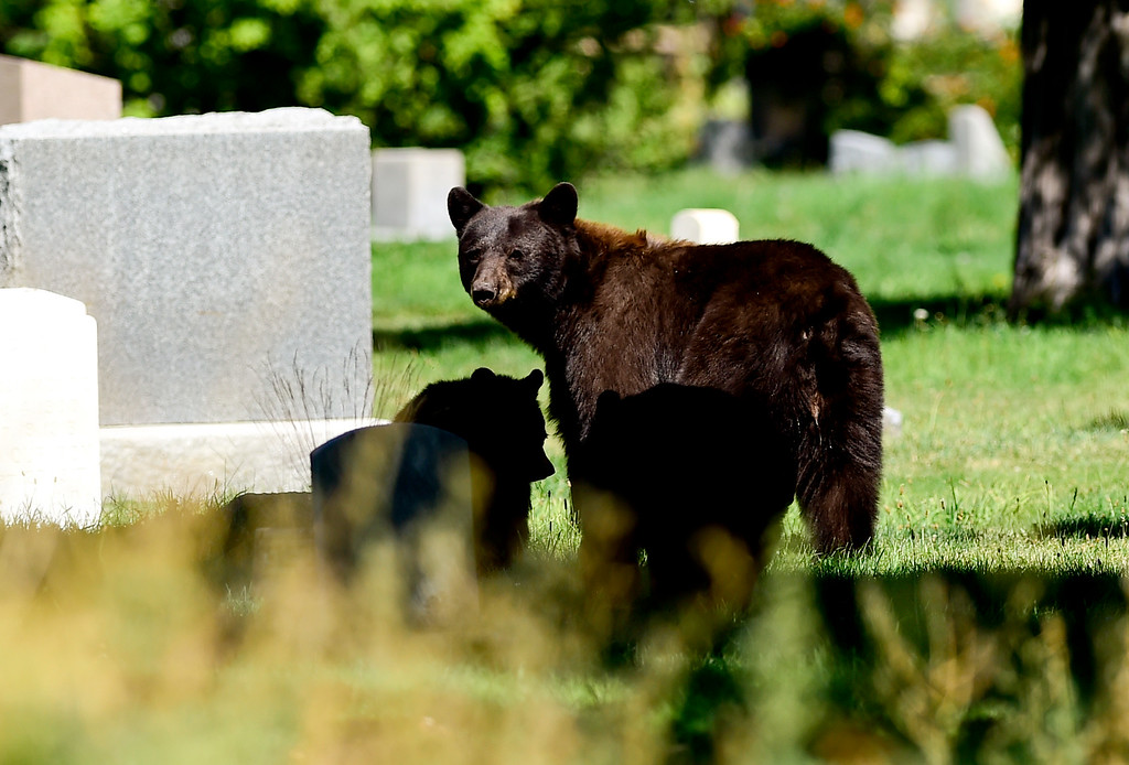 . BOULDER, CO - SEPTEMBER 14: A female bear and two cubs are seen in Columbia Cemetery in Boulder on Sept. 14, 2018. (Photo by Matthew Jonas/Staff Photographer)