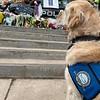 Katie Comfort Dog Looking On to Fallen Police Officer's Memorial