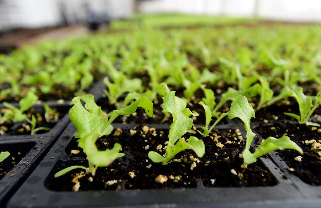. Lettuce plants sit in a greenhouse at the Cure Organic Farm on Monday in Boulder County. More photos: dailycamera.com Jeremy Papasso/ Staff Photographer 02/12/2018