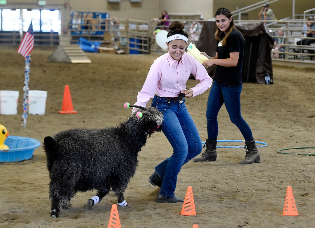 . LONGMONT, CO: August 9: (Photo by Cliff Grassmick/Staff Photographer).  Sarah Shehigian tries to get her goat to run around the cones during the obstacle course competition during the Boulder County Fair in Longmont on August 9, 2018.