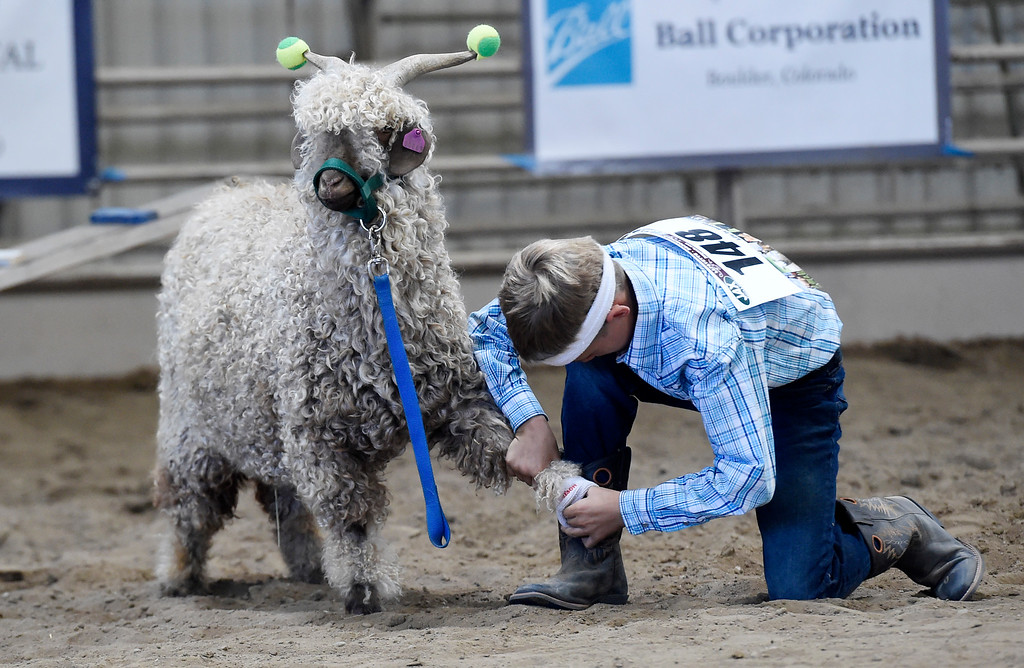 . LONGMONT, CO: August 9: (Photo by Cliff Grassmick/Staff Photographer). Clay Bell works to get sweat bands on his goat during the obstacle course during the Boulder County Fair in Longmont on August 9, 2018.