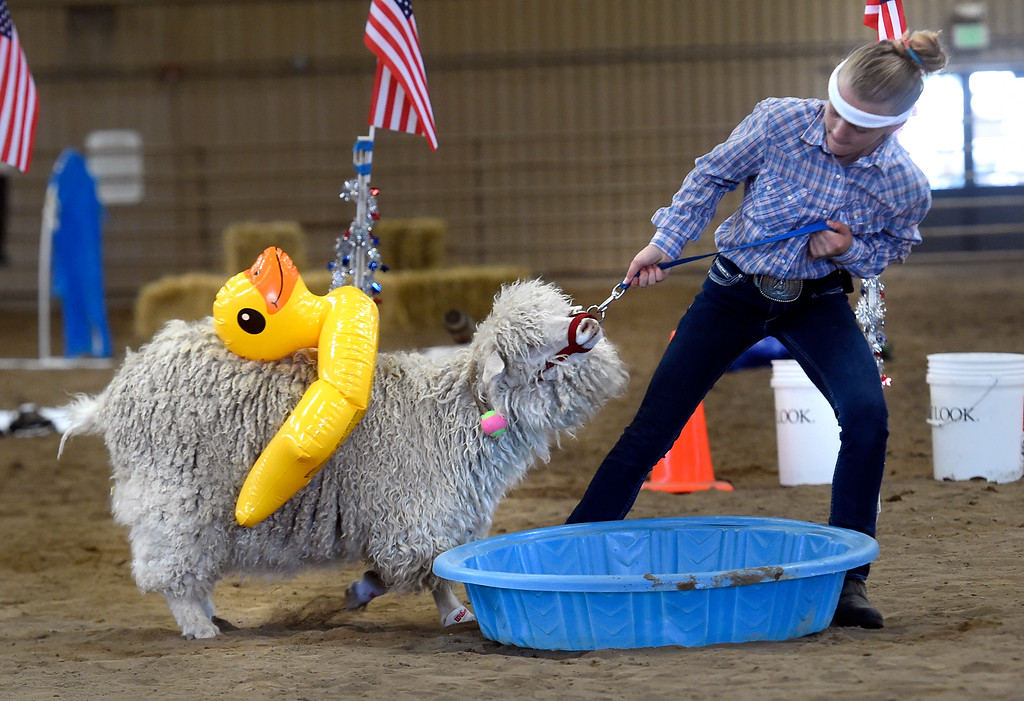 . LONGMONT, CO: August 9: (Photo by Cliff Grassmick/Staff Photographer). Stella KIng works hard to move her goat along the obstacle course during the Boulder County Fair in Longmont on August 9, 2018.