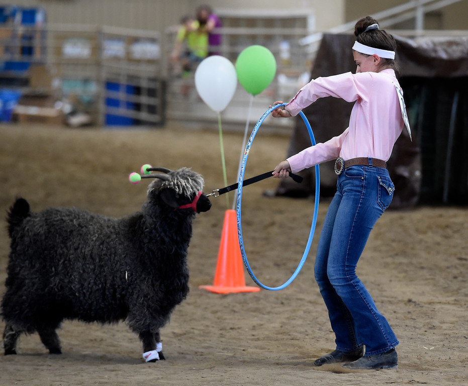 . LONGMONT, CO: August 9: (Photo by Cliff Grassmick/Staff Photographer). Sarah Shehigian tries to get her goat to walk through the hoop during the obstacle course competition during the Boulder County Fair in Longmont on August 9, 2018.