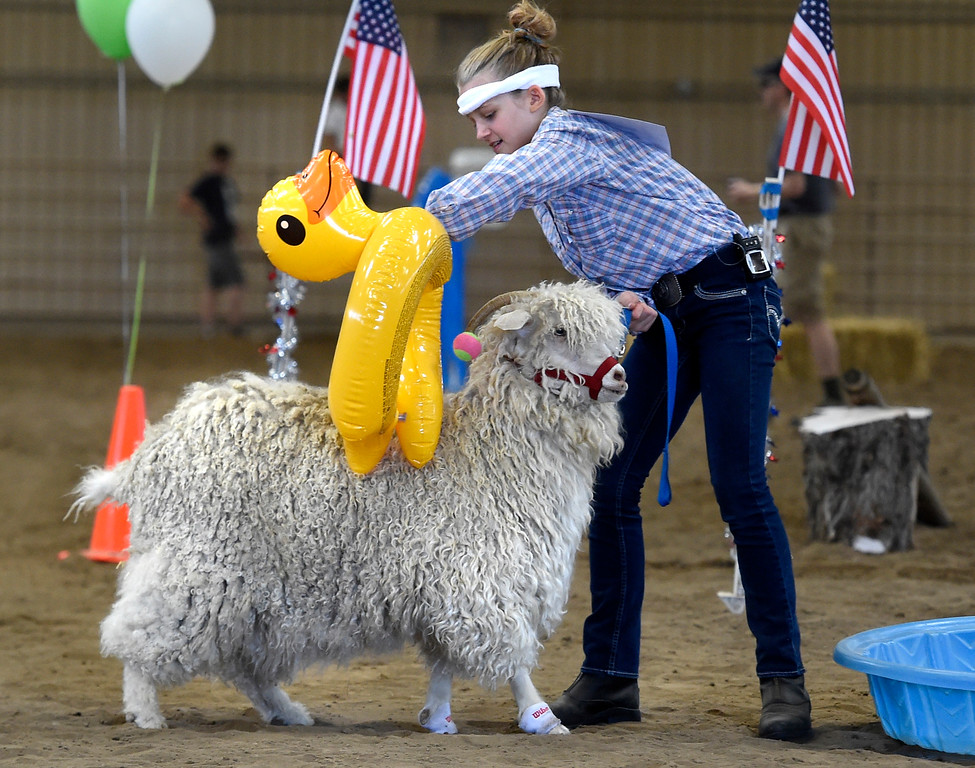. LONGMONT, CO: August 9: (Photo by Cliff Grassmick/Staff Photographer). Stella KIng puts a blow up duck on her goat before going through the pool of the obstacle  course during the Boulder County Fair in Longmont on August 9, 2018.