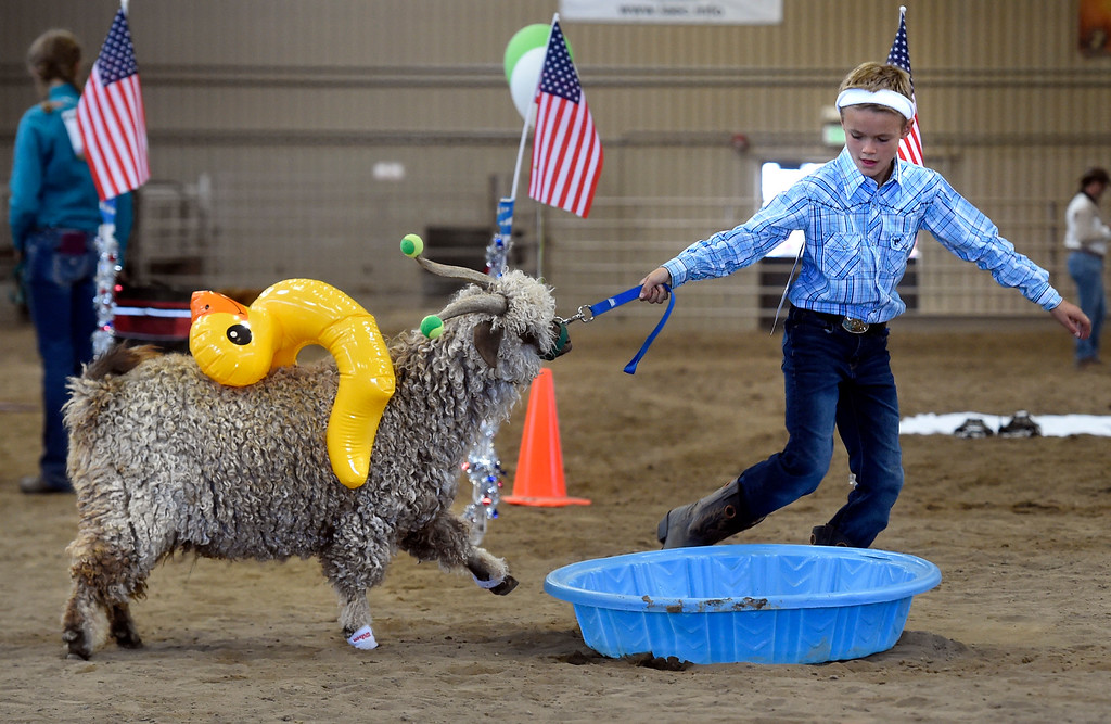 . LONGMONT, CO: August 9: (Photo by Cliff Grassmick/Staff Photographer). Clay Bell works to get his goat to get in the pool during the Boulder County Fair in Longmont on August 9, 2018.