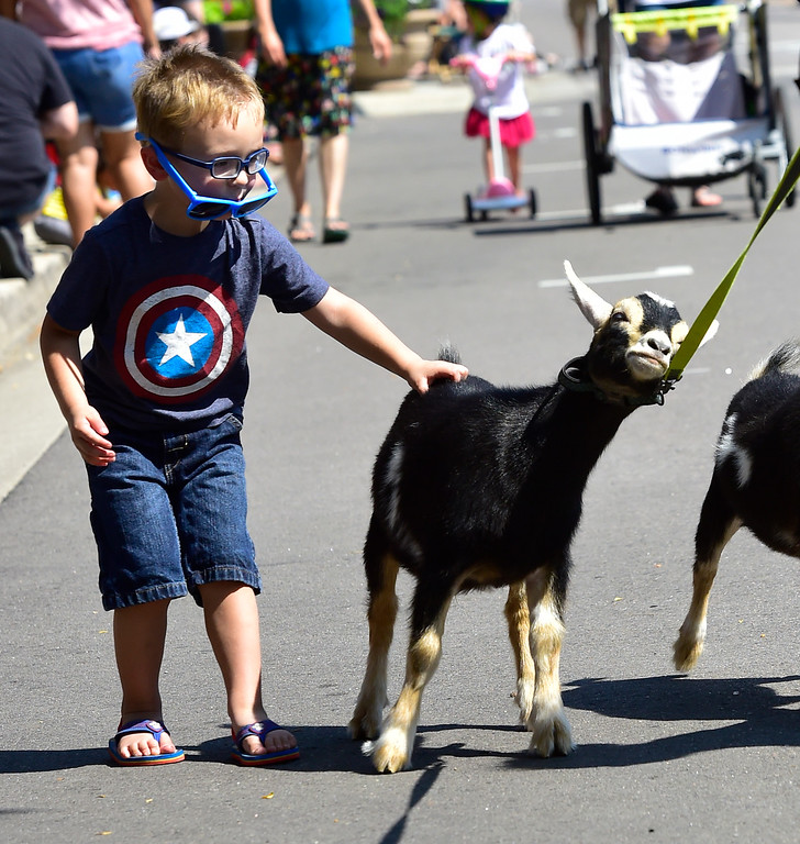 . LONGMONT, CO - AUGUST 4 2018 Criss Esquible, 3, gets a chance to scratch a reluctant goat during the annual Boulder County Fair Parade in Longmont Colorado on Saturday August 4, 2018.  (Photo by Paul Aiken/Staff Photographer)