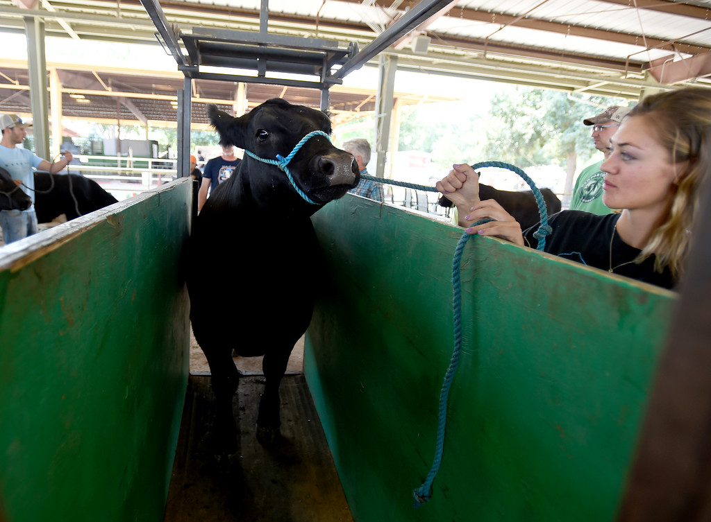 . Cassidy True puts her cow on the scales during the Boulder County Fair in Longmont on Tuesday, August 7, 2018. For more photos, go to dailycamera.com. Cliff Grassmick  Staff Photographer  August 7, 2018