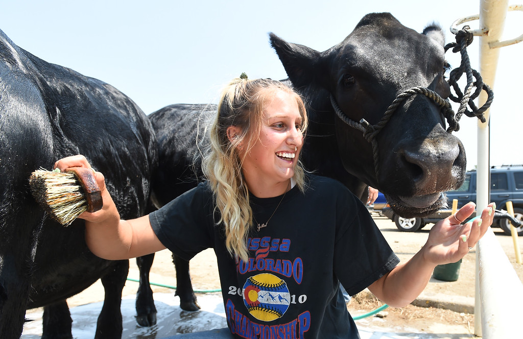 . Jetta Nannen has an affectionate cow that licks her during the Boulder County Fair in Longmont on Tuesday, August 7, 2018. For more photos, go to dailycamera.com. Cliff Grassmick  Staff Photographer  August 7, 2018