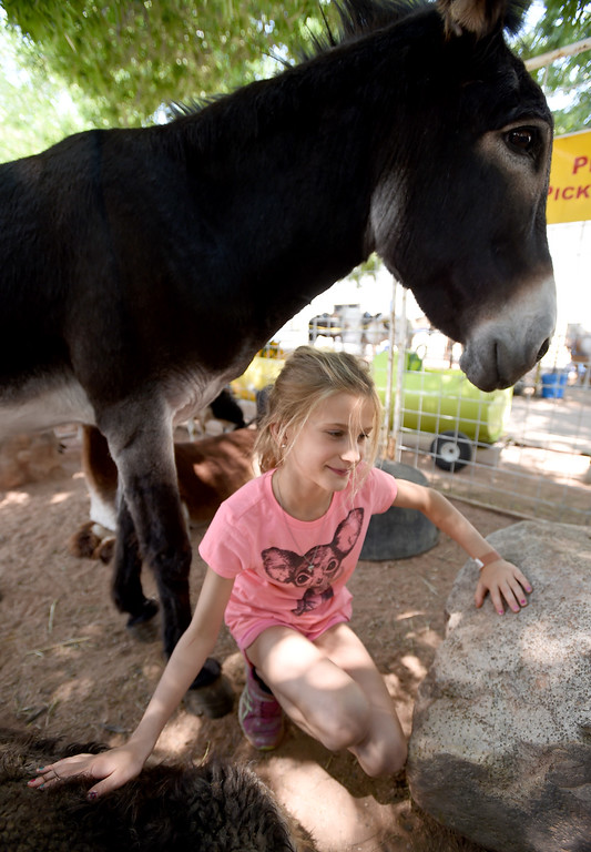 . Alayna Atherton is framed by animals in the petty zoo during the Boulder County Fair in Longmont on Tuesday, August 7, 2018. For more photos, go to dailycamera.com. Cliff Grassmick  Staff Photographer  August 7, 2018