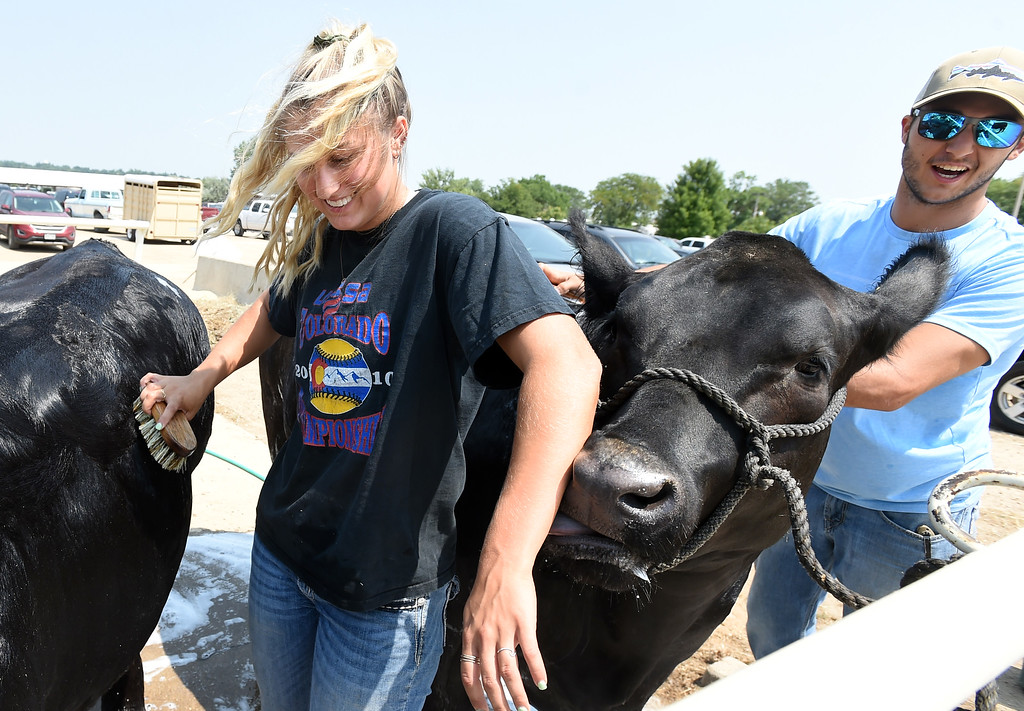 . Jetta Nannen, left, gets a cow lick from one of her cows during the Boulder County Fair in Longmont on Tuesday, August 7, 2018. Her brother, Michael is helping out.  For more photos, go to dailycamera.com. Cliff Grassmick  Staff Photographer  August 7, 2018