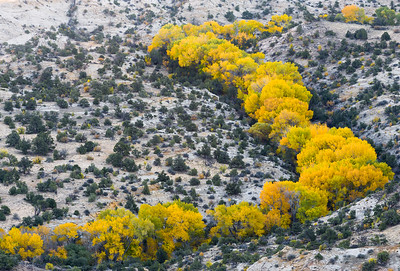 Cottonwoods in fall foliage along a creek bed taken from Boulder Mountain.