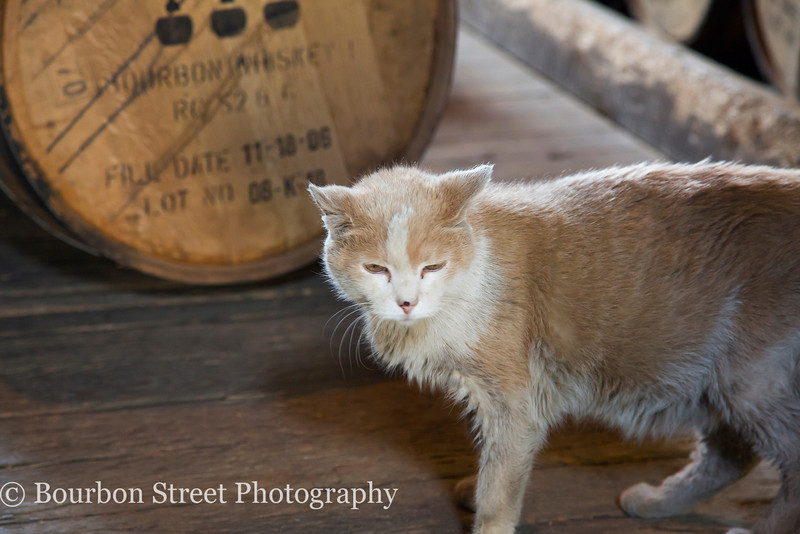 Elijah, the distillery cat