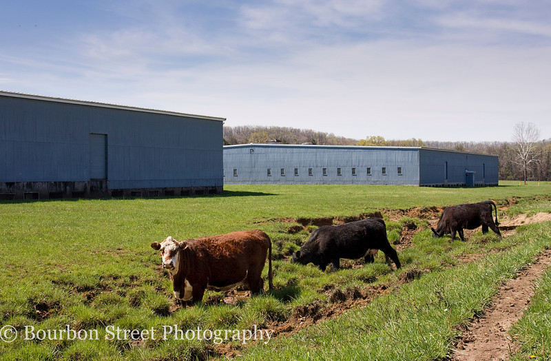 Four Roses keeps a herd of cattle to maintain the grass.  They also sell some of the calves.