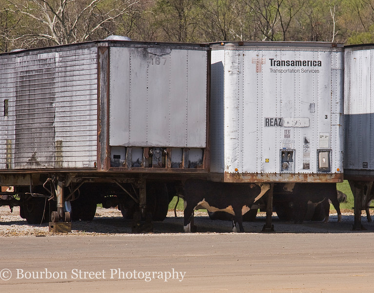 The cattle typically use the woods for shelter against the weather, but sometimes a trailer can be pretty appealing.