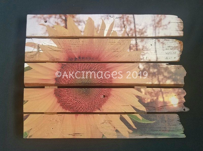 'Single Sunflower'©AKCImages 2018 17 x 13 $75
