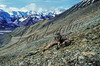 Bowhunting Dall sheep, bowhunting mountain sheep,