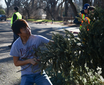 Justin Lui, 16, a Boy Scout from Troop 2 works to recycle Christmas trees Saturday, Jan. 14, 2017, at Hooker Oak Park in Chico, California. (Dan Reidel -- Enterprise-Record)