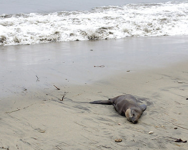 The rangers said this sea lion was exhausted from mating...