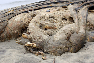 The whale had apparently been on the beach for over 5 weeks at this point.