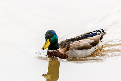 InksLakeStatePark-Ducks1