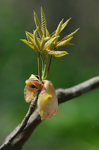 Spring 2011 Buds popping on a Tree