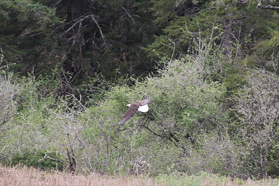 Bald Eagle Soaring at Brian Booth State Park (Beaver Creek) Oregon.