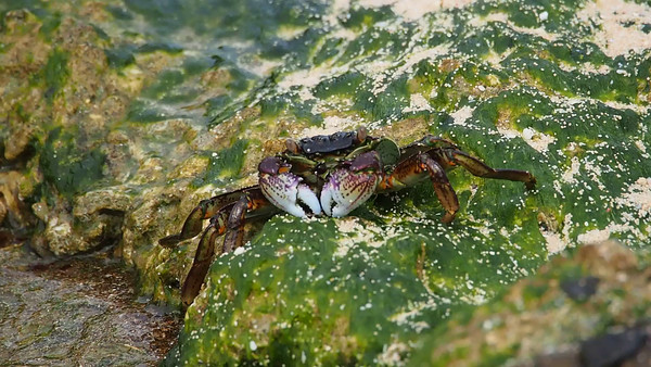Video - algae eating crab - dinner time!