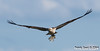 See-Adler mit Fisch