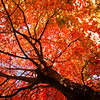Canopy of Maple