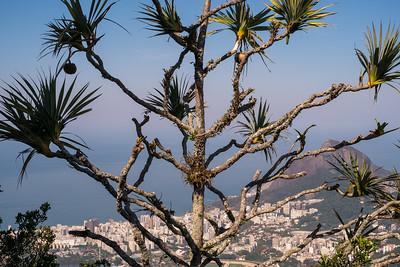 Brasil Tree