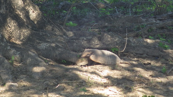 Armadilo on the ranch