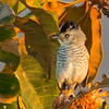 Rufous-winged Antshrike (male)