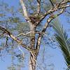 Harpy Eagle (nest)