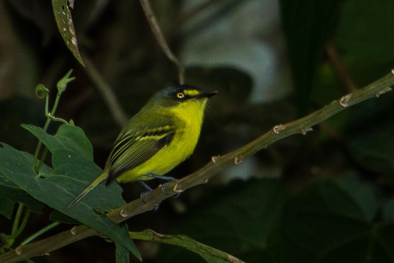 Gray-headed Tody-Flycatcher (aka Yellow-lored Tody-Flycatcher)