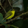 Gray-headed Tody-Flycatcher (aka Yellow-lored Tody-Flycatcher)