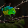 Blue-naped Chlorophonia (male)