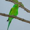 Plain Parakeet ? check ID
