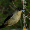 Black-goggled Tanager (male)