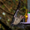 unknown bat feeding on hummingbird nectar